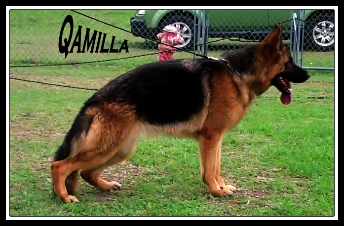German Shepherds Adult Trained Houston Dallas Austin Ft Hood Killeen San Marcos