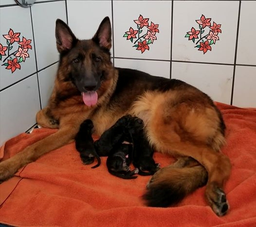 German Shepherd Puppies For Sale Texas AKC Imported From Germany Austin Houston