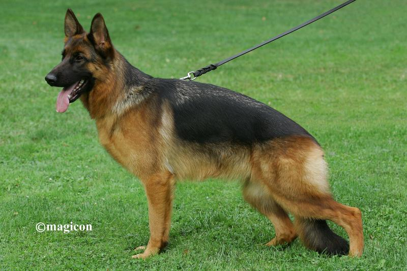 Texas German Shepherds For Sale Austin Houston Dallas San Antonio