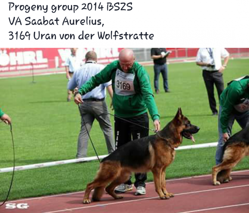 Uran Wolfsmatte in Saabat Aurelius Progeny Group 2014 Germany