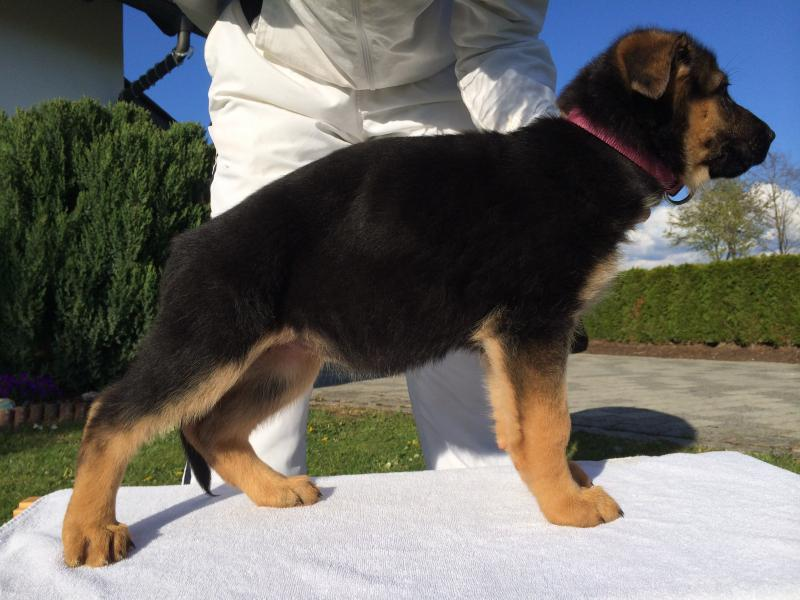 Pedigree Database German Shepherd Pups For Sale Direct From Germany in Texas
