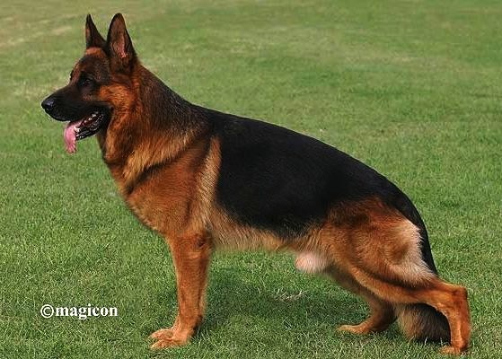 VA Fulz di Zenevredo Imported German Shepherd Pups For Sale in Texas