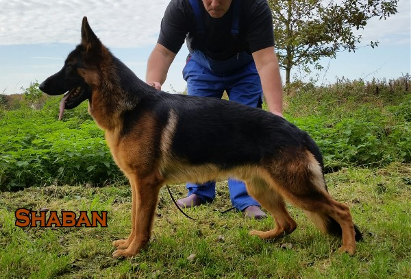 VA Sired Young Adult Imported Elite German Shepherd Male For Sale in Texas