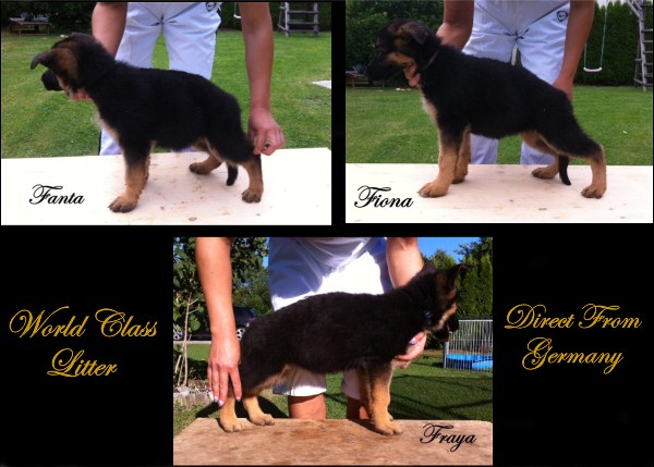 VA Nino female pups at 8 weeks