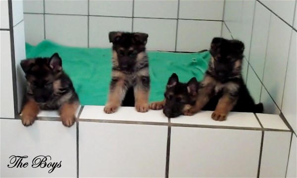 German Shepherds for sale in Houston Texas at Elite German Shepherds