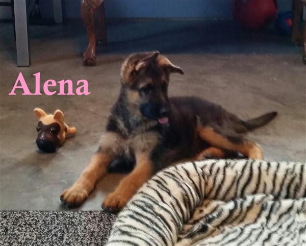 German Shepherd Breeders in San Antonio Dallas Austin Texas German Bred Puppies