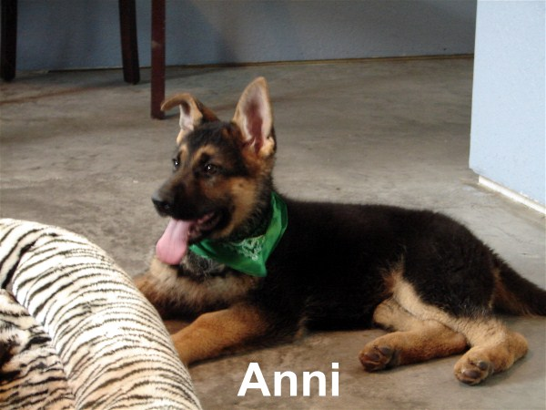 Imported German Shepherd Pups in America