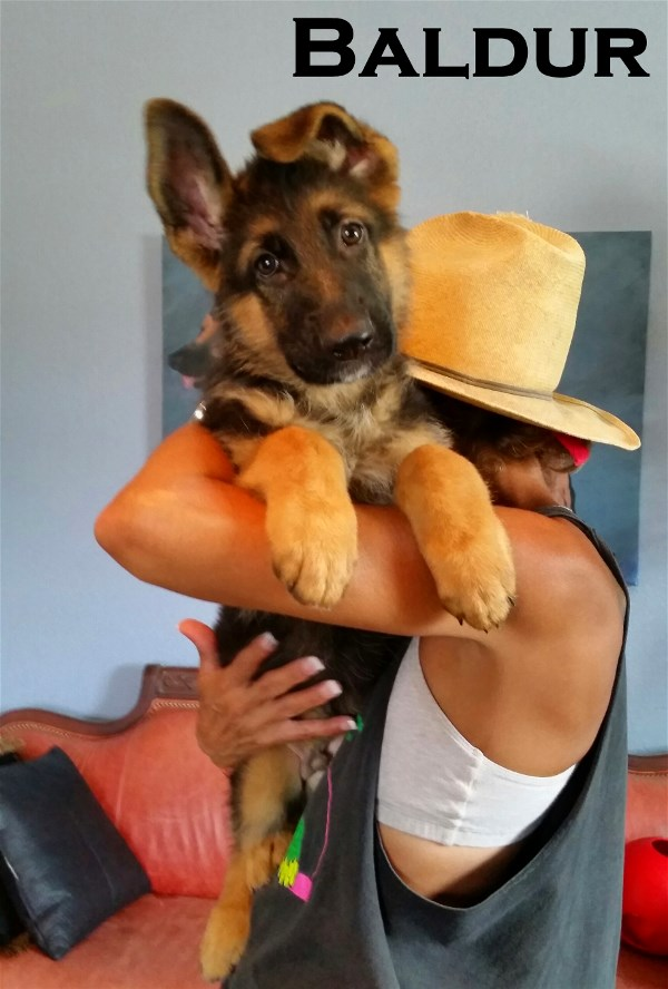 Imported Elite German Shepherd Pups Virgina West Virginia North Carolina Texas