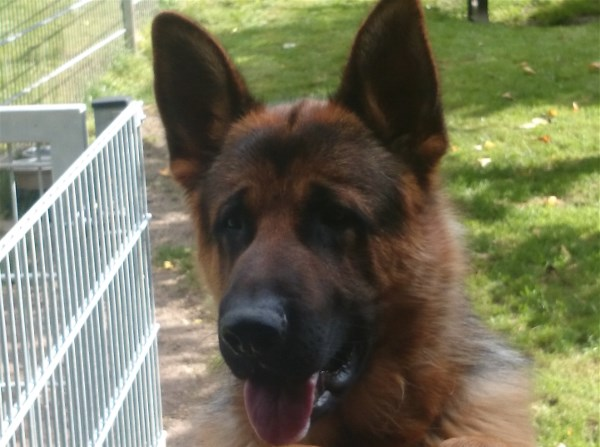 Young Male Trained German Shepherd Direct from Germany to your Home Town