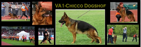 Chicco Dogshof German Shepherd at Stud in Texas Miami, California Illinois