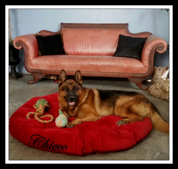 Chicco Dogshof German Shepherd at Stud in Texas