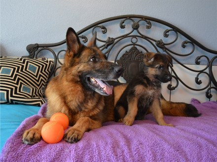 German Shepherd Breeders Pups for sale Austin Houston Dallas Texas