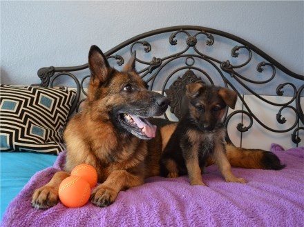 German Shepherd Breeders Pups for sale Illinois Indiana Ohio Michigan