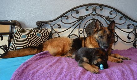 Elite German Shepherd Pups for Sale Oklahoma New Mexico California Montana