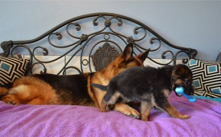 Elite German Shepherd Pups for Sale Colorado Nebraska Washington Arizona Texas