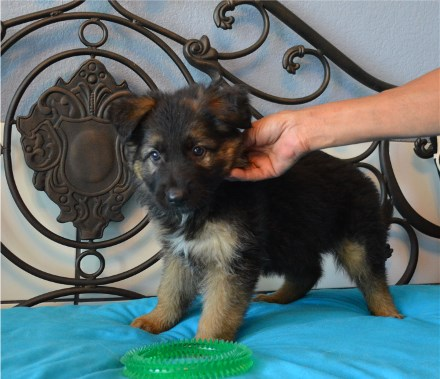 Pedigree Database Long Coat German Shepherd Pups German Showline Austin Texas