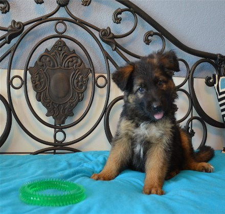 Long Coated West German Shepherd Puppies from Germany Waco San Antonio Texas