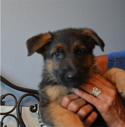 Elite German Shepherd Pups Available Imported to Texas from Germany