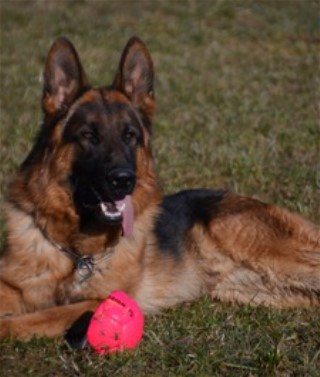 German Shepherd Stud Dogs in Texas West German Import