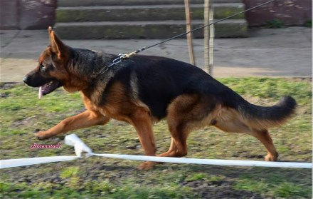 Gardi vom Team Panoniansee Elite German Shepherd Stud