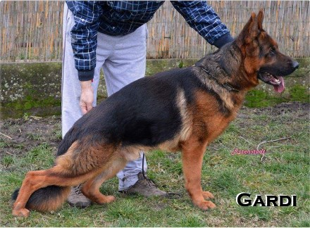 German Shepherd Stud Dog Gardi Team vom Panoniansee