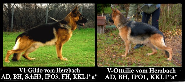 German Shepherd Pups Imported direct from Germany
