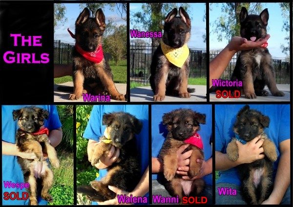 Texas German Shepherd Breeders Pedigree Database Austin Houston Dallas Texas