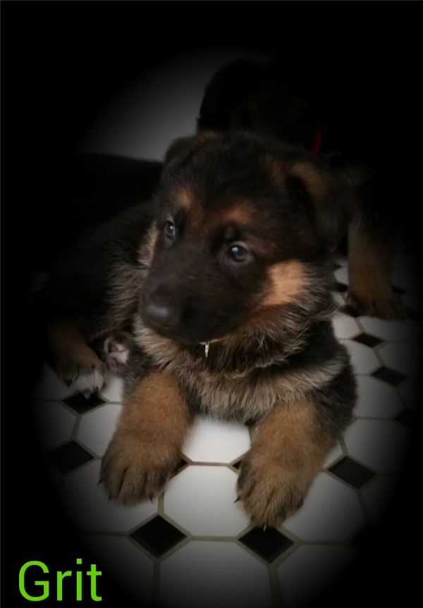Elite German Shepherd Pups Chicco Dogshof Black  Deep Red Texas Alabama Colorado