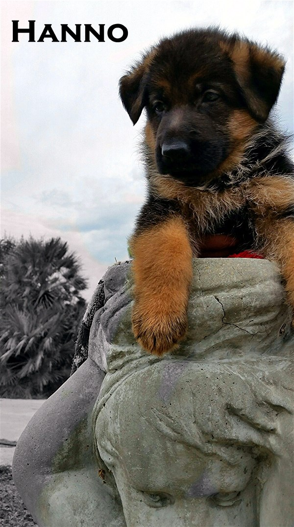 Chicco Dogshof Offspring German Shepherd Pups For Sale in USA Texas