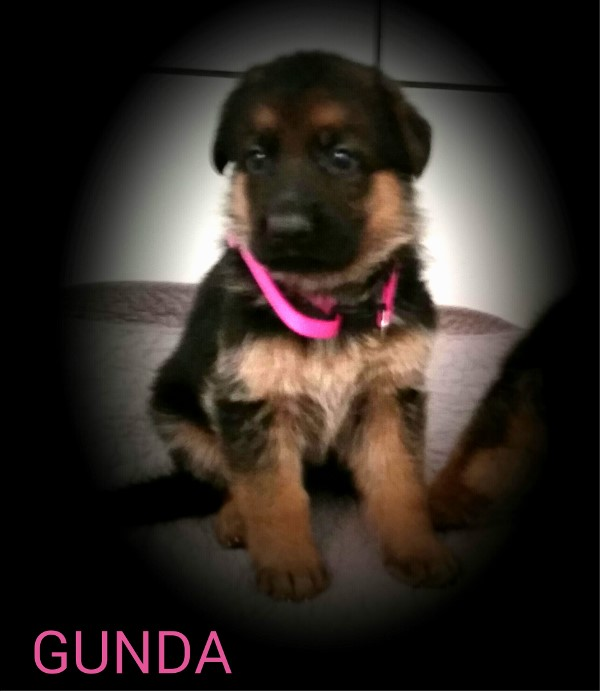 German Shepherd Pups Imported From Germany to Texas Maine New York New Jersey