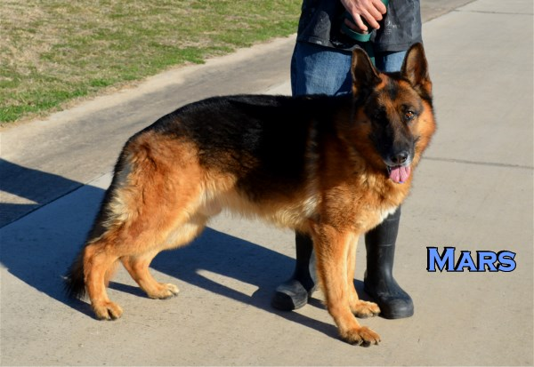 German Shepherd Stud Dog at Elite German Shepherds Mars vom Herzbach