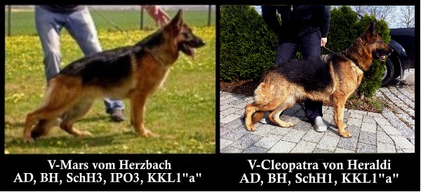 Texas German Shepherd Breeders Austin Houston Dallas San Antonio Corpus Christy