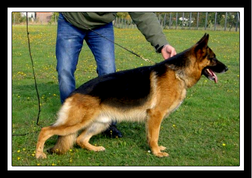 Pedigree Database Mars vom Herzbach at Elite German Shepherds near Austin Texas