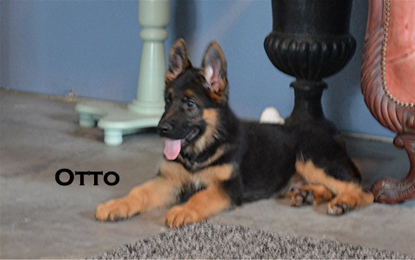 Texas Elite German Shepherd Breeders Importing Pups From Germany & Born in USA