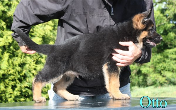 Elite German Shepherd Pups For Sale in Austin Houston DallasTexas Chicago, Il