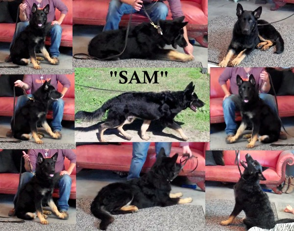 Kraftwerk K9's Working Line German Shepherd For Sale Austin Texas