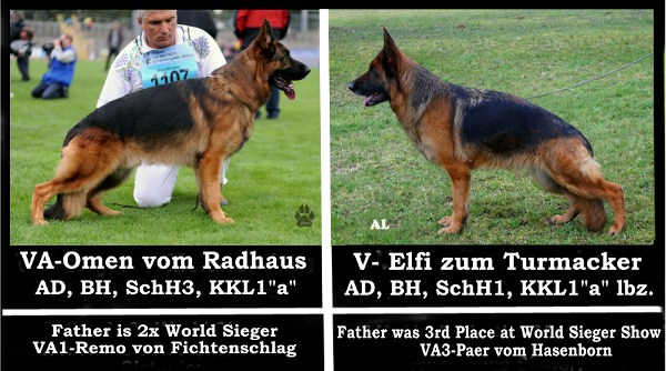 VA Omen vom Radhaus Pink Papered German Shepherd Pups Direct from Germany in USA