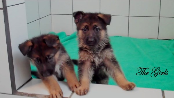 German Shepherd Pups Imported from Germany at Elite German Shepherds