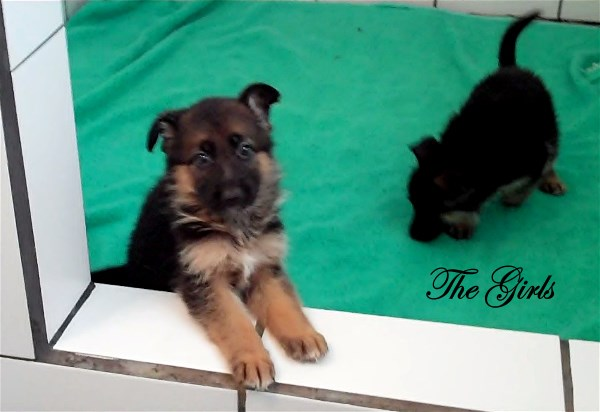 German Shepherd Puppies for sale in Texas at Elite German Shepherds