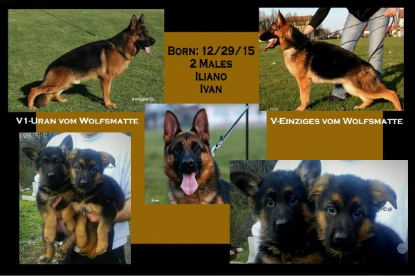 Imported German Shepherd Pups For Sale Texas Dallas Houston Austin Waco