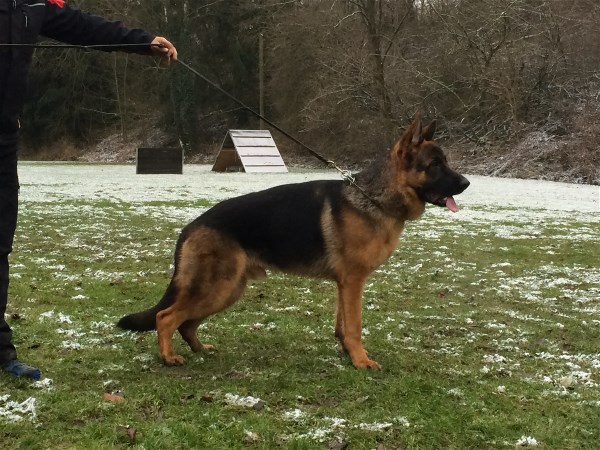 Elite Imported Geman Shepherd Pups For Sale New York New Jersey Boston Maine