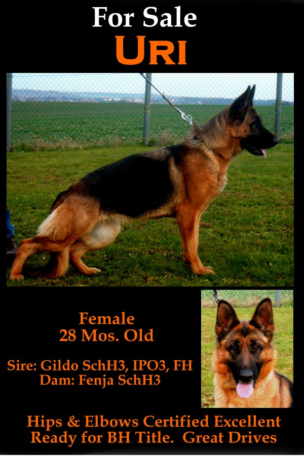 Female German Shepherd for sale Direct From Germany