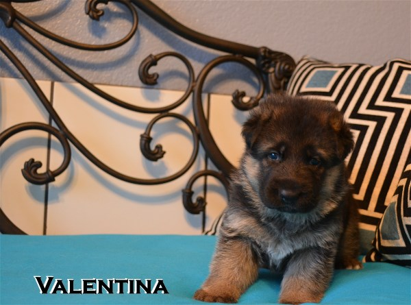 Elite German Shepherd Pups For Sale in Texas