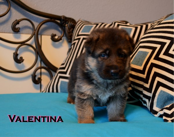 Elite German Shepherd Pups For Sale in Austin Houston Dallas San Antonio Texas