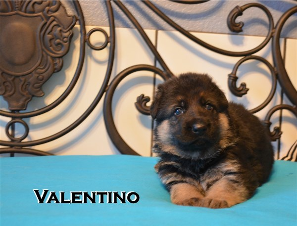 Elite German Shepherd Pups For Sale in Dallas Houston Austin San Antonio Texas