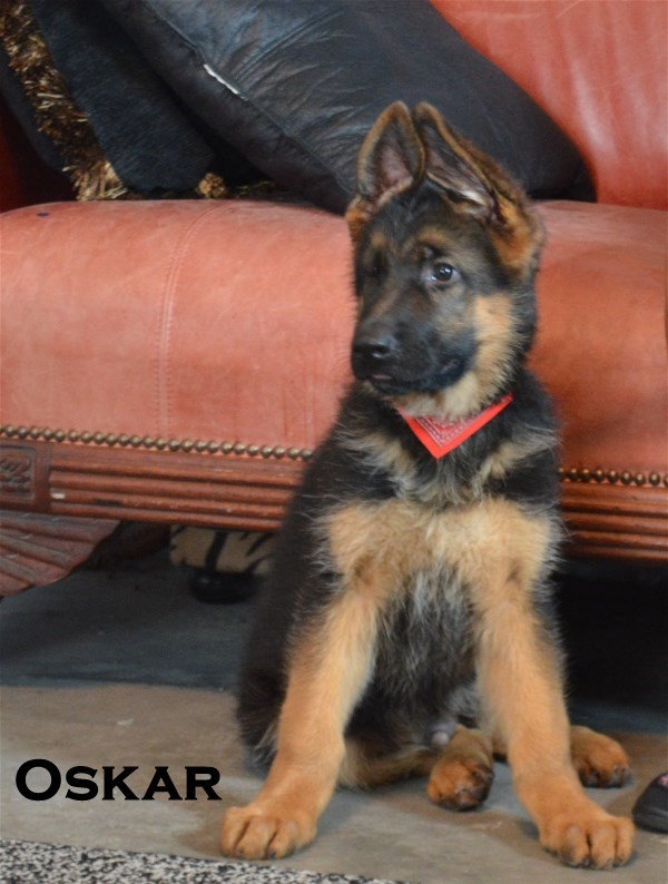 Pedigree Database Imported World Class German Shepherds shipping in USA