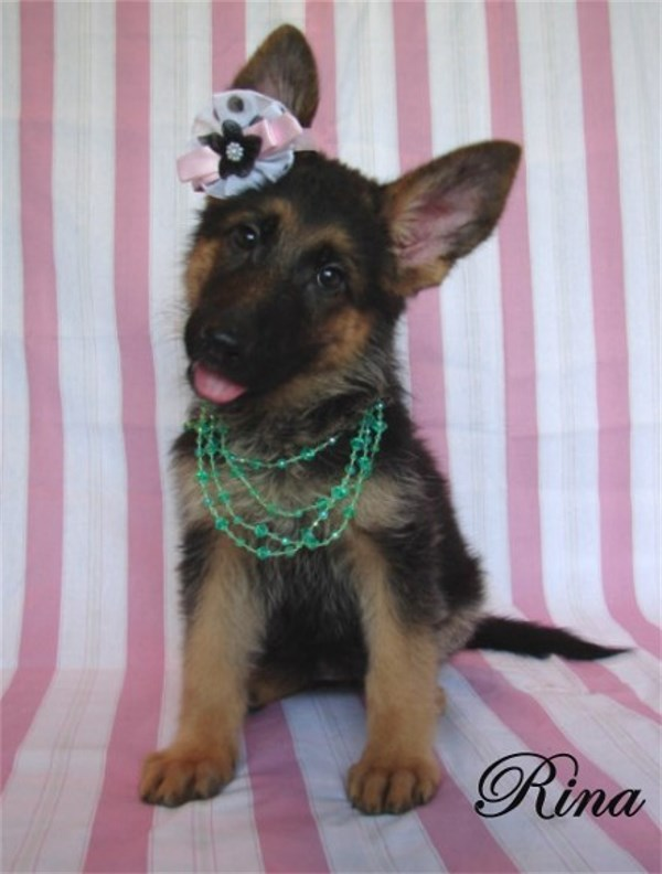 German Shepherd Pups For Sale Austin Dallas Houston San Antonio Waco Texas