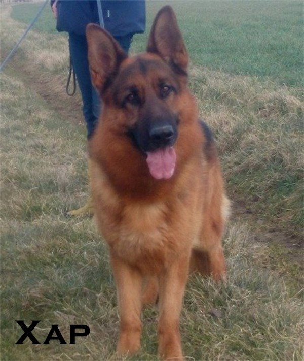 Imported Titled Male German Shepherd For Sale Virginia Georgia Colorado Texas
