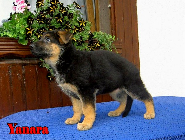 Female German Shepherd Pup direct from Germany www.EliteGermanShepherds.com