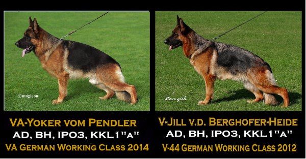 German Shepherd Breeders in Texas Wonder Lake, Il Dallas Austin Houston  Waco